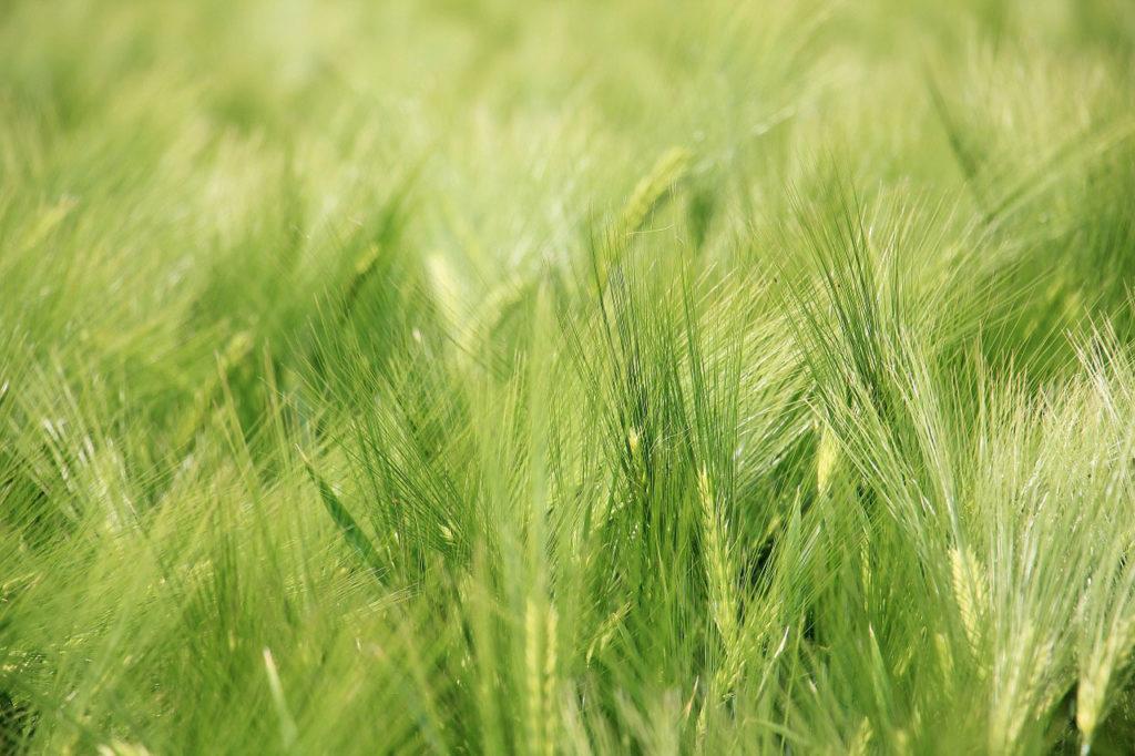 Gerstengras in einem Feld zur Entgiftung