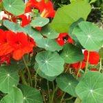 Essbare Blüte - Kaputzinerkresse