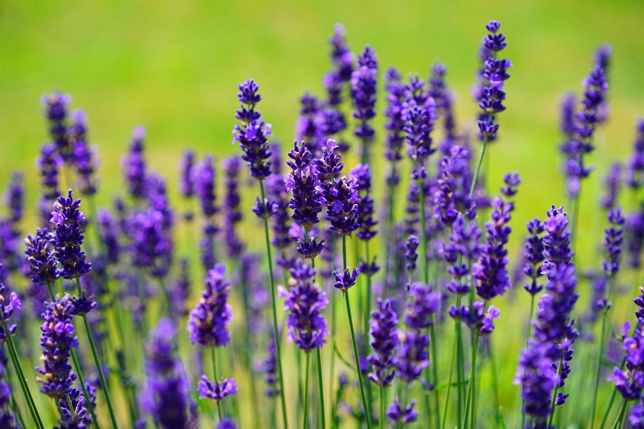 Die Lavendel hat essbare Blüten