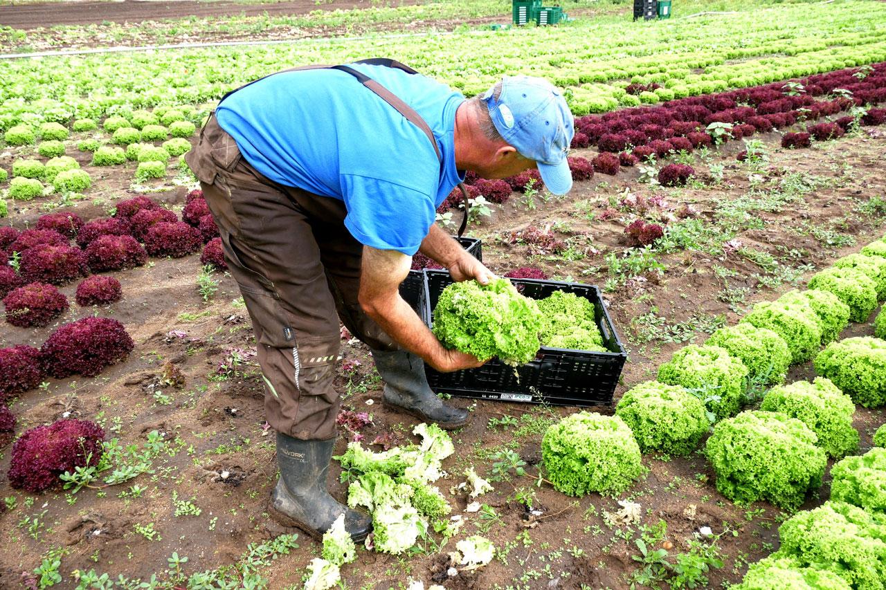 Gemüsebauer im Feld