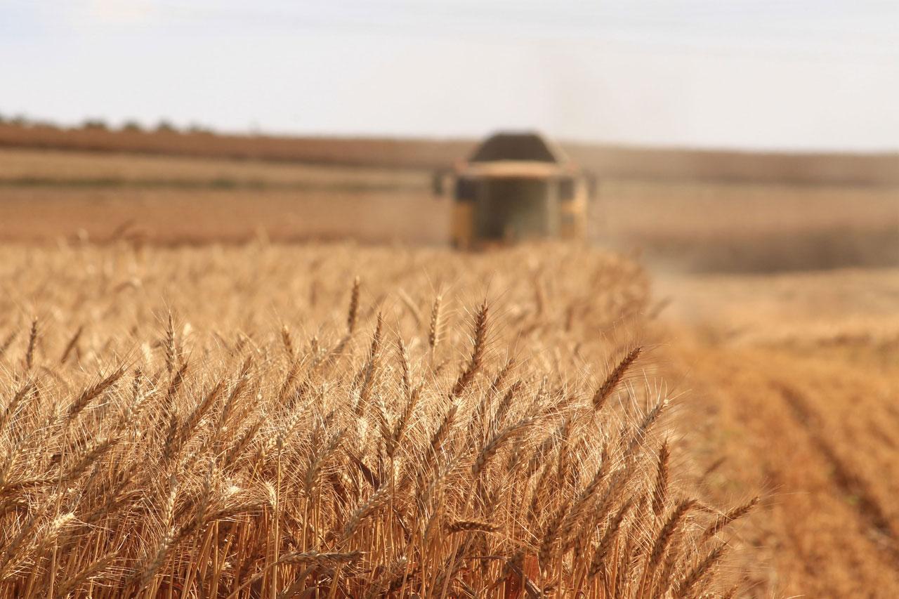 Getreide-Ernte auf dem Feld