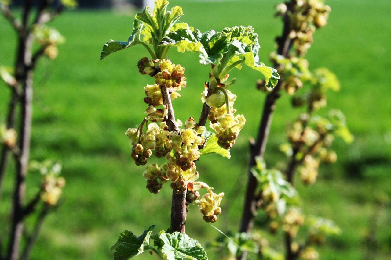 Jungblüte Johannisbeere