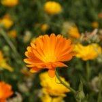 Ringelblume - Sonnenbraut im eigenen Garten