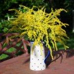 Goldrute, das pflanzliche Nierenmittel