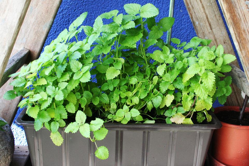 Zitronemelisse im Balkonkasten vor dem Haus