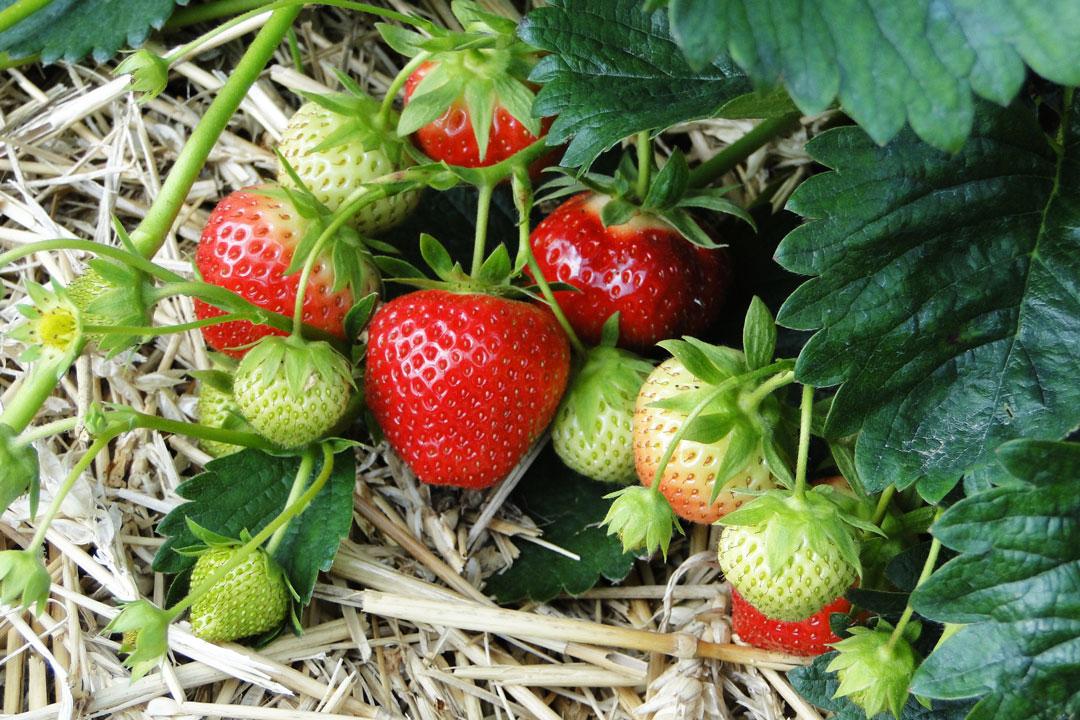 Erdbeeren im Gartenbeet