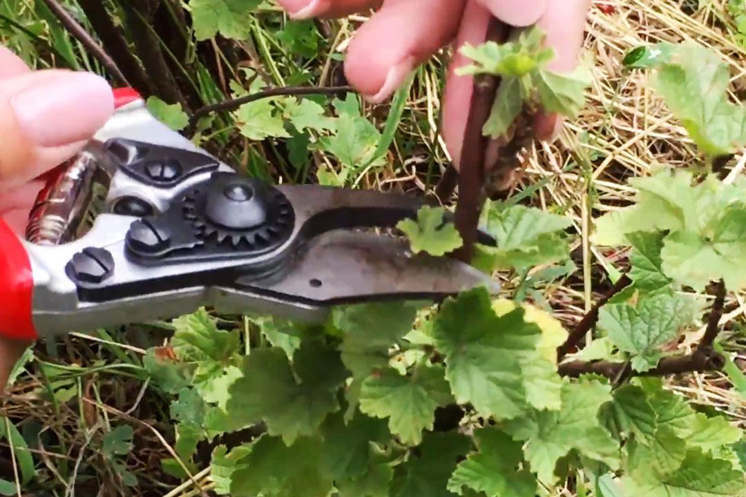 Johannisbeerstrauch mit Gartenschere schneiden
