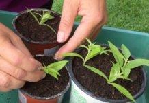 Zitronenverbene mit Stecklingen vermehren