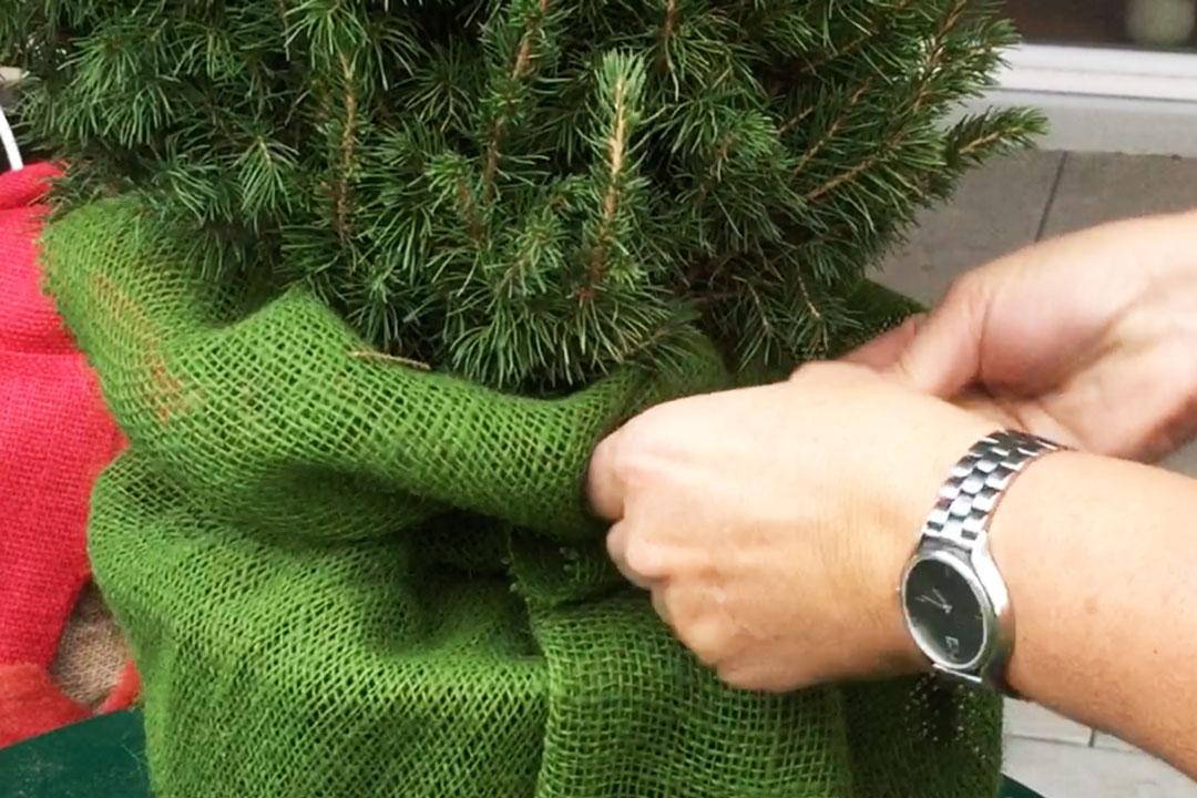 Grüner Jutestoff um Zuckerhutfichte drapieren