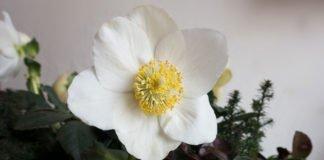 Blühende Blüte einer Christrose