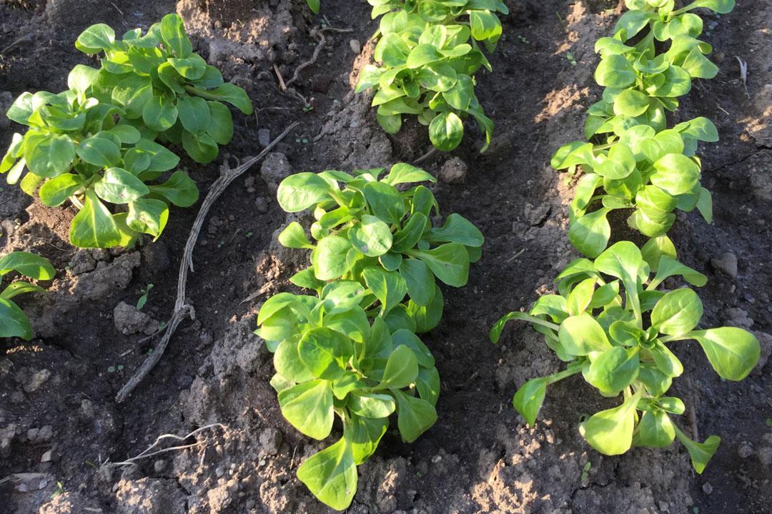 Feldsalat als Reihensaat