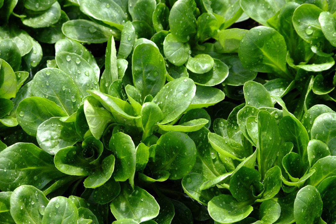 Feldsalat im Garten