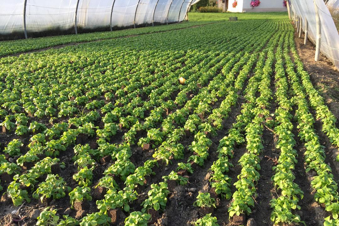 Gedeckter Anbau von Feldsalat