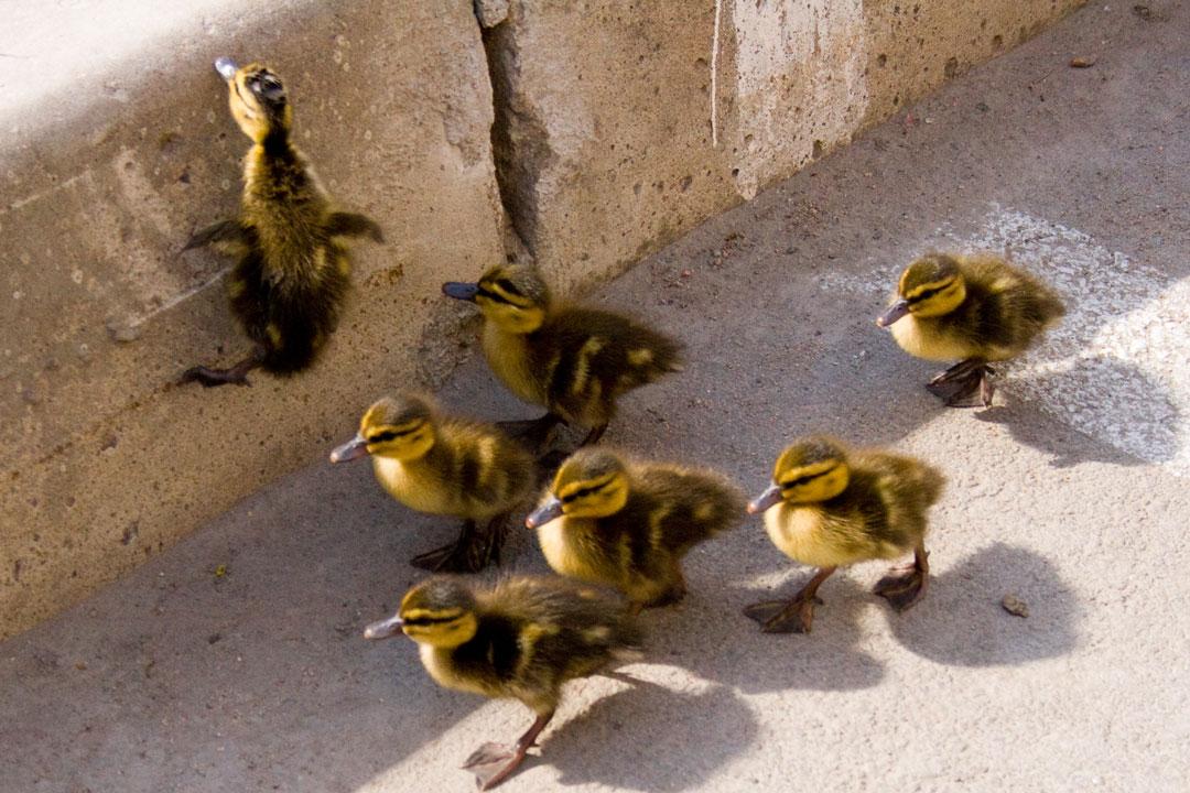 Junge Entenfamilie auf der Strasse vor dem Bordstein