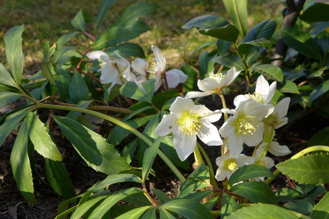 Lenzrosen-Kolonie im Garten