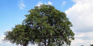 Walnussbaum auf der grünen Wiese