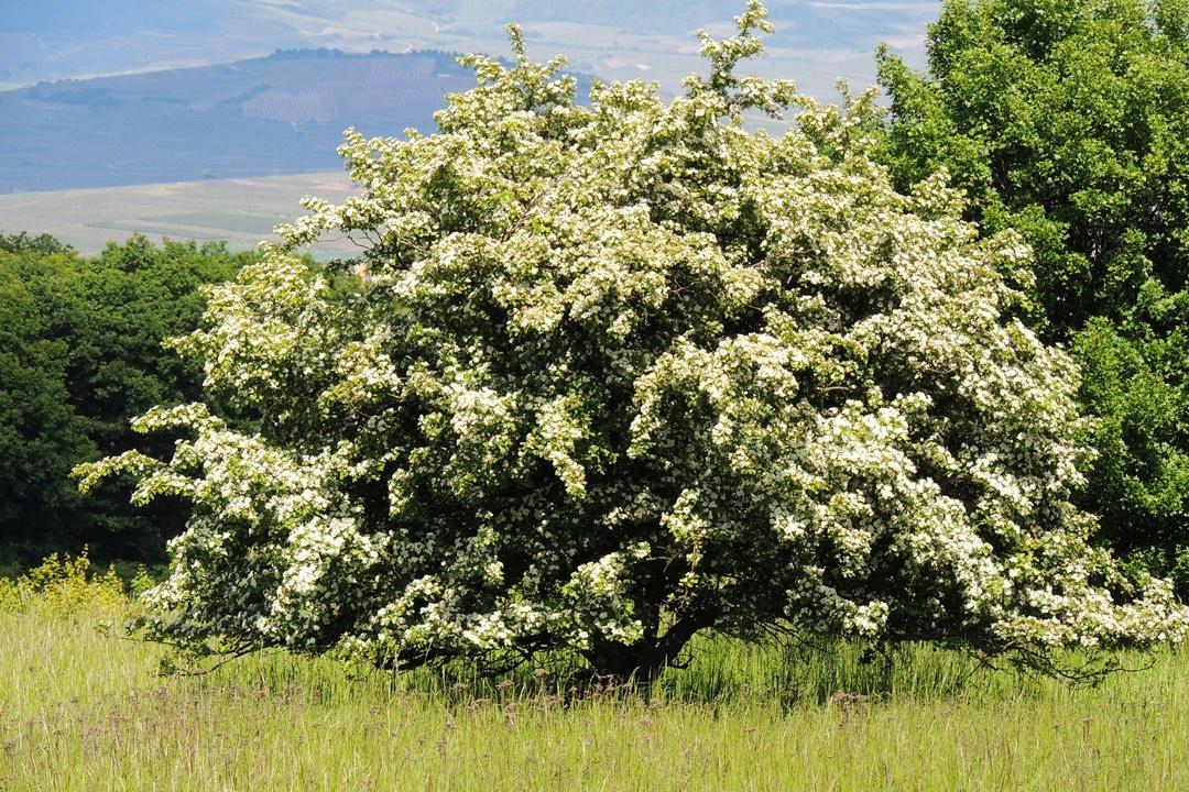 Blühender Weißdornbaum auf einer Anhöhe