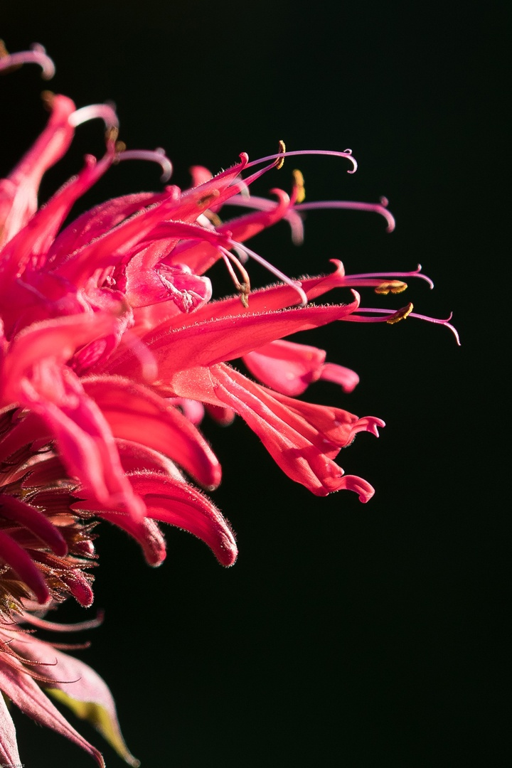 Nahaufnahme der Blüten der Goldmelisse, auch Indianermelisse genannt.
