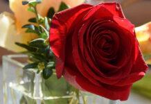 Eine Rose im Glas zum Valentinstag - das Fest der Liebe