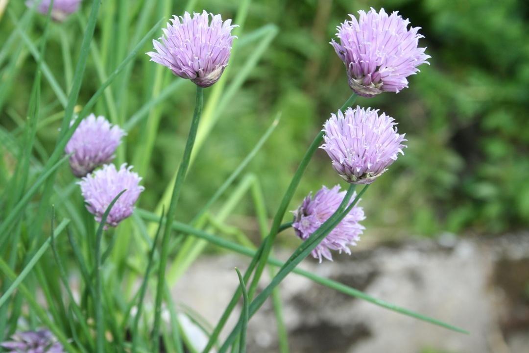 Dekorative Schnittlauch-Blüten