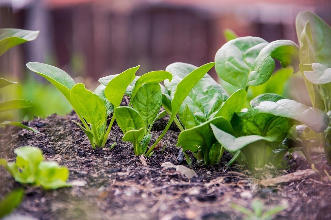 Frischer Spinat im Garten, kurz vor der Ernte