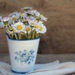 Das Gänseblümchen ist der Vorbote des Frühlings