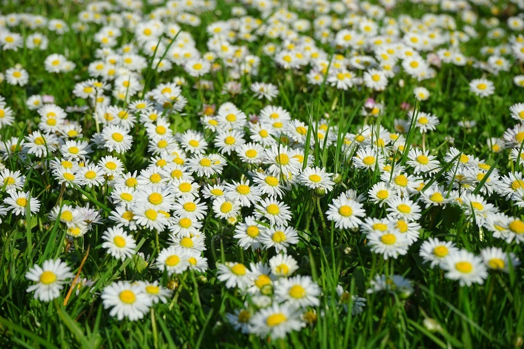 Gänseblümchen-Wies im Frühling