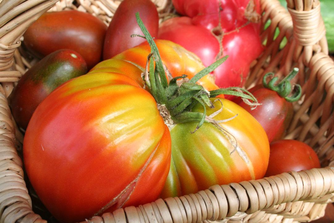 Reife Tomaten in einem Korb