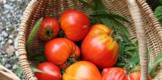 Tomaten aussäen für den eigenen Garten