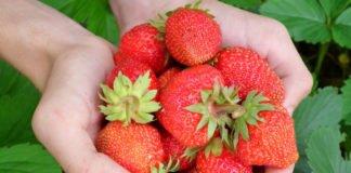 Die sieben wichtigsten Tipps beim Erdbeeren pflanzen