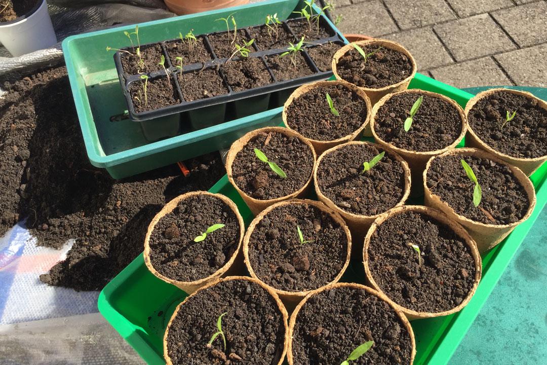 Frisch pikierte Tomatenpflanzen im Topf