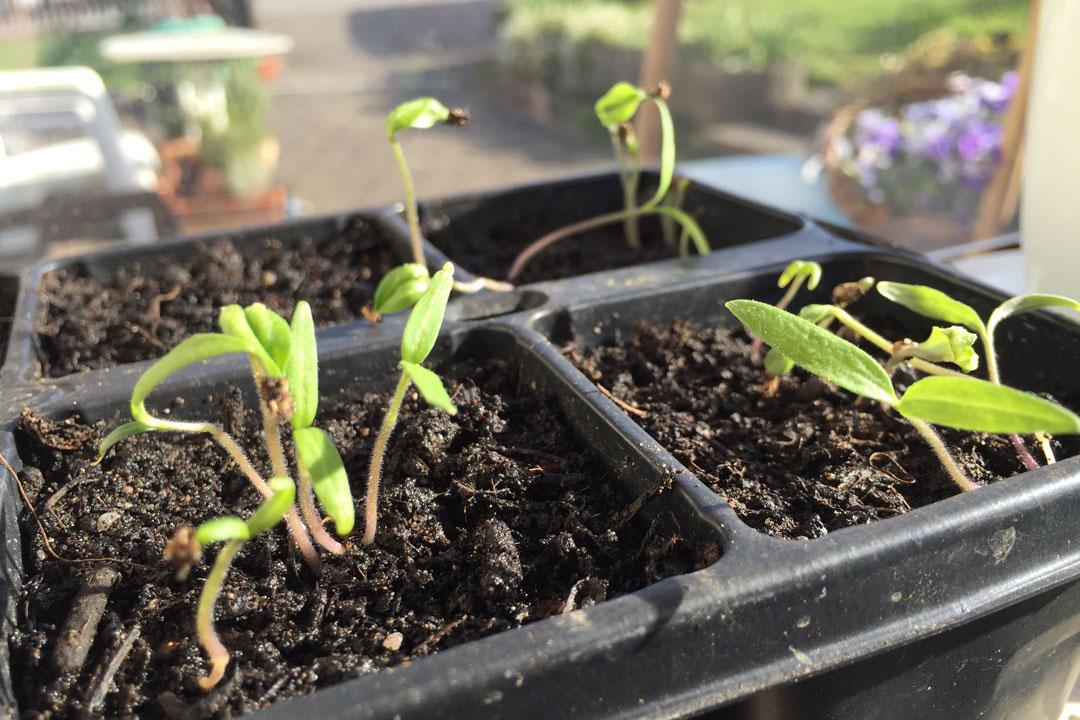 Junge Tomatensämlinge welche nach 7 Tagen und einer Temperatur von 20 bis 22 Grad Celicius auf der Fensterbank gekeimt sind.