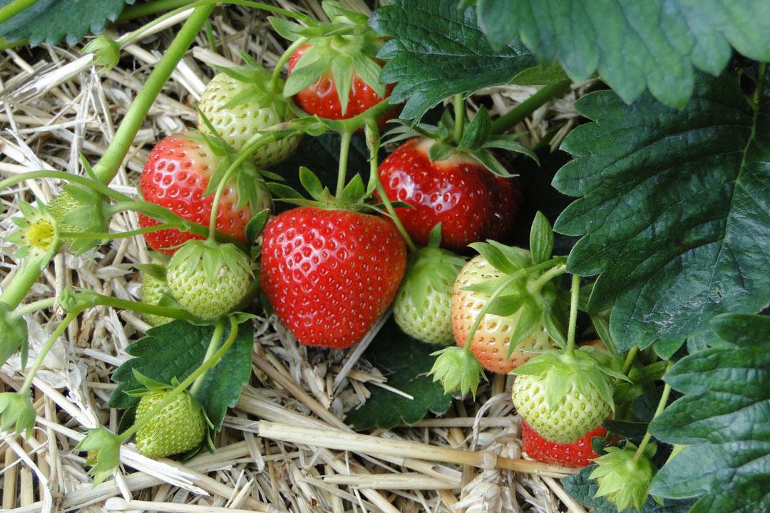 Sobald sich die ersten Blüten entwickeln, die Erdbeeren mit Holzwolle unterlegen.