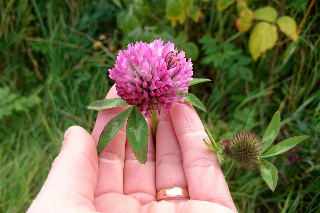 Rotklee ist ein Schmetterlingsblütler, der gern auf trockenen, leichten und kalkarmen Böden wächst.