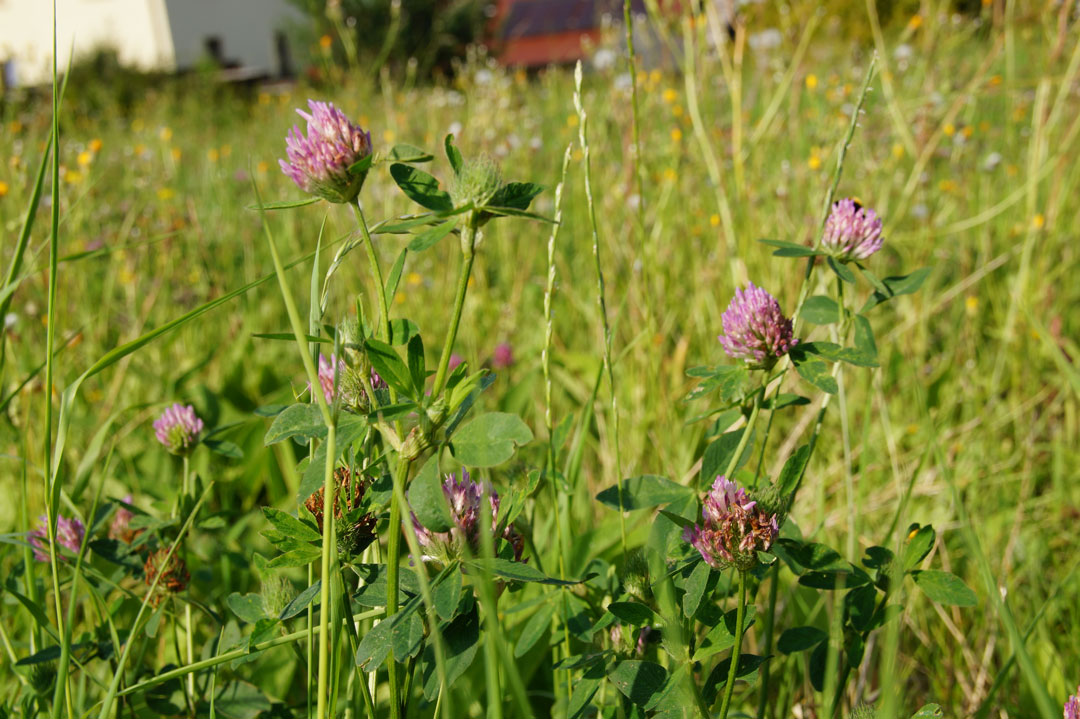 Rotklee ist eine rasch wachsende Feldfutterpflanze mit hohem Eiweißgehalt.