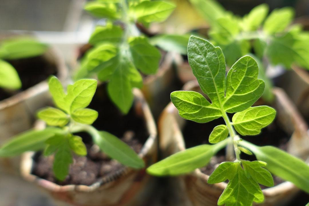 Tomatenpflanzen dürfen bei wärmeren Temperaturen (ab 10 Grad) untertags an einem geschützten Platz auch draussen stehen.