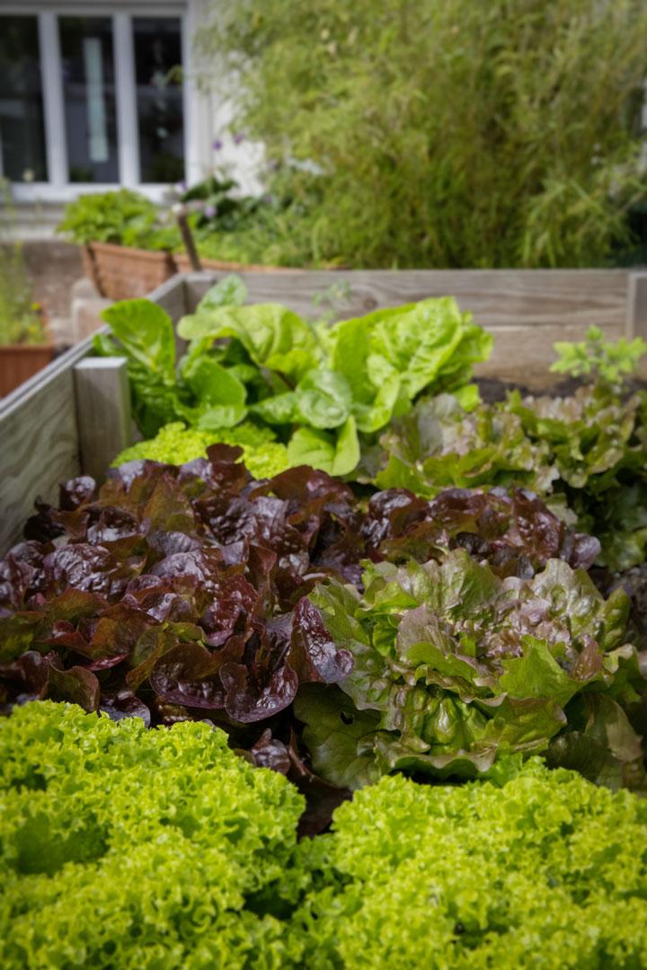 Frische Salatköpfe aus dem Hochbeet sind bereit zum Ernten.