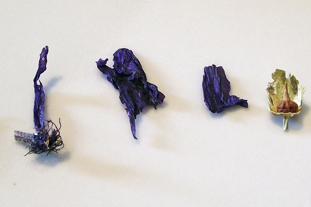 Getrocknete Malve in Form der Blütendroge