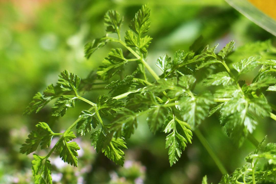 Kerbel in Mischkultur mit anderen Pflanzen gedeiht prächtig.
