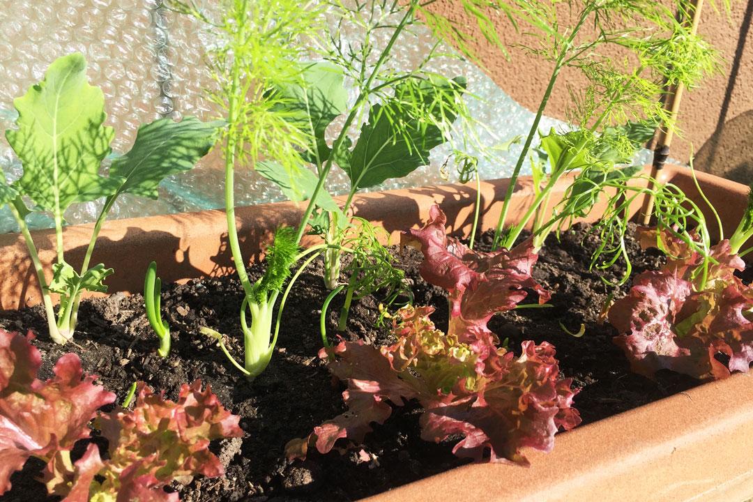 Mischkultur im Hochbeet mit Salat, Kohlrabi, Fenchel und Zwiebeln.