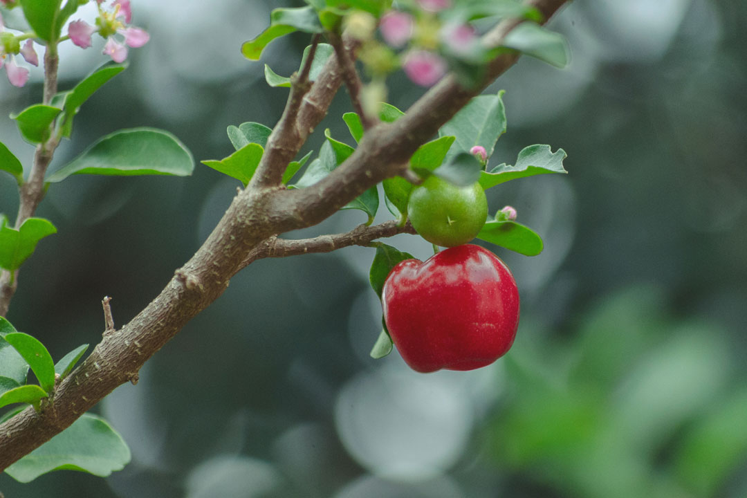 Die Auswahl an Obstsorten - speziell für den Balkon - nimmt stetig zu.