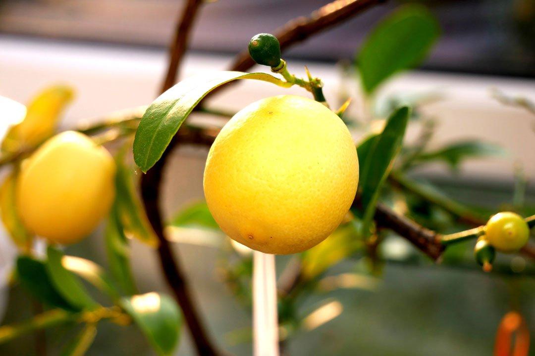 Perfekt sind selbst angebaute Zitronen, da weiß man, was man hat