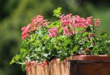 Geranien - die beliebte Sommer- und Balkonpflanze