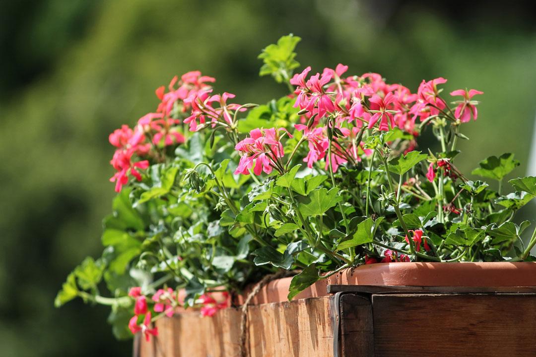 Geranien Die Sommer Und Balkonpflanzen Schlechthin