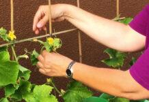Eine Gurkenpflanze wir mit einer Rankhilfe aufgebunden
