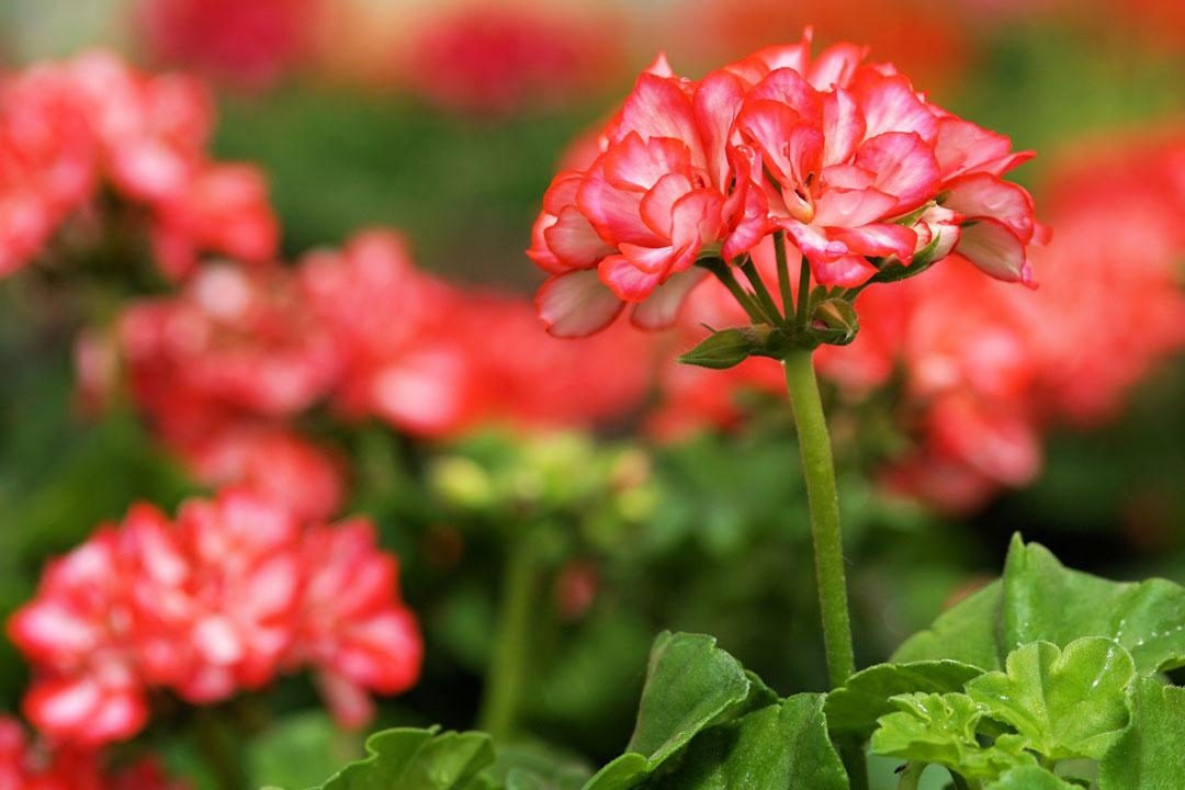 Die Blüte einer Gernaie im Fokus
