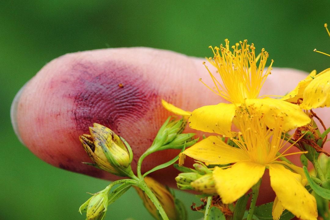 Zerreibt man die Johanniskrautblüten und das Kraut zwischen den Fingern, verfärbt sich dieses blutrot.