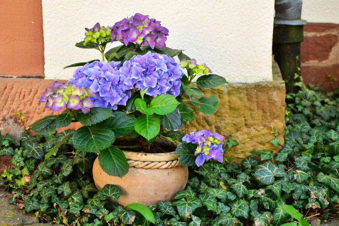 Blaue Hortensie in dekorativem Topf.