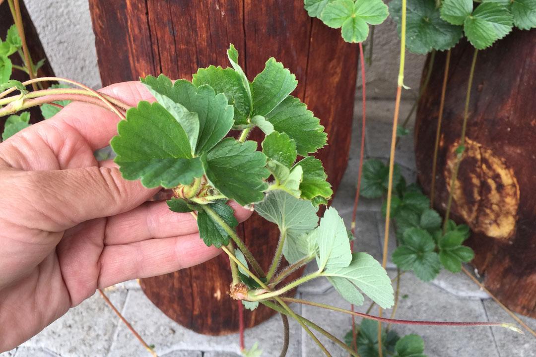 Ausläufer von Erdbeerpflanzen, welche durch einen Seitenspross mit der Mutterpflanze verbunden sind.