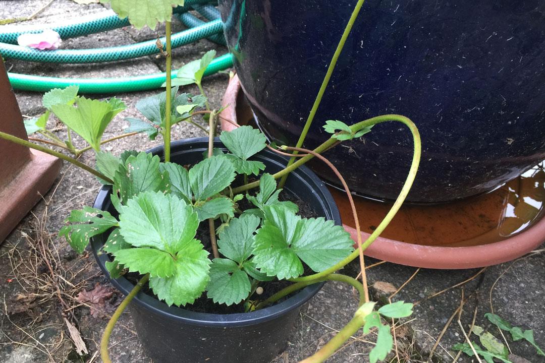 Fertig entwickelte Erdbeer-Jungpflanze im Topf welche jedoch immer noch mit einem Seitenspross mit der Mutterpflanze verbunden ist.